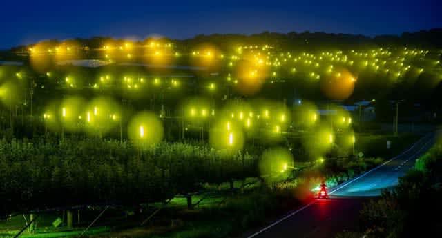 梨守る幻想の光 広島・世羅の農園に防蛾灯